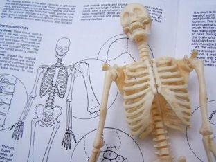 skeleton-study