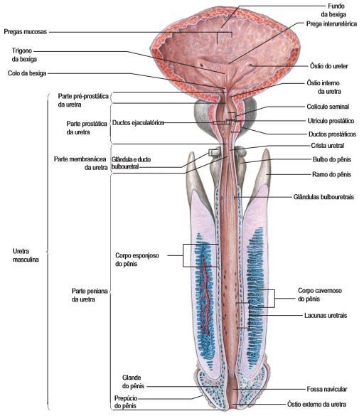 anatomia da uretra masculina e feminina